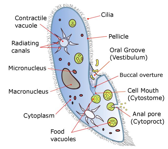 paramecium.png